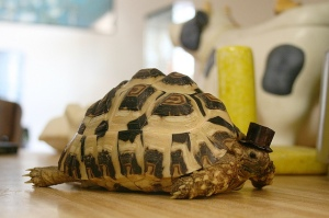 Tortoise in a top hat. Photo: StarsApart (Creative Commons Flickr)
